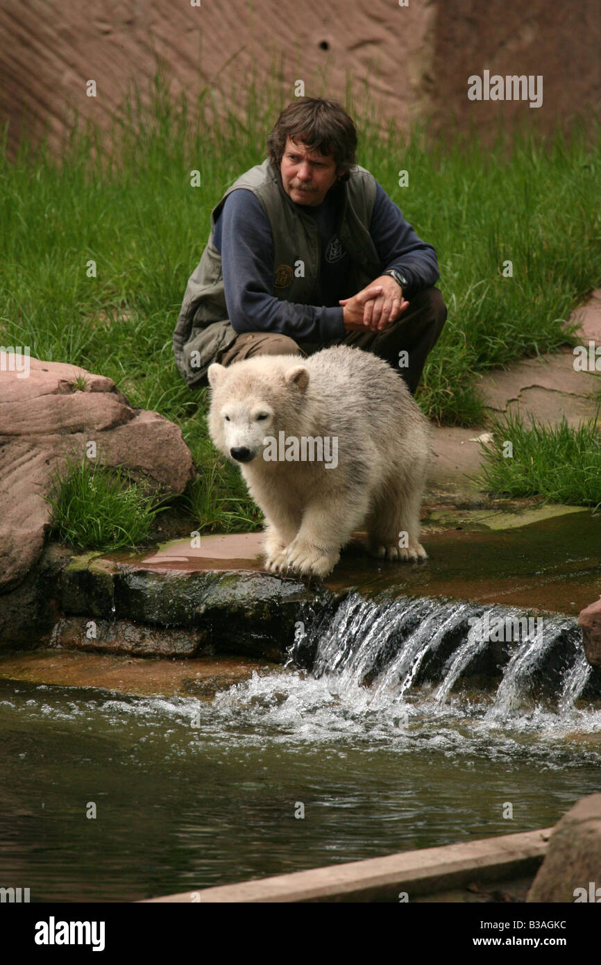 Flocke Snowflake the polar bear cub playing with her keeper Horst Maussner at Nuremberg Zoo, Germany - Stock Image