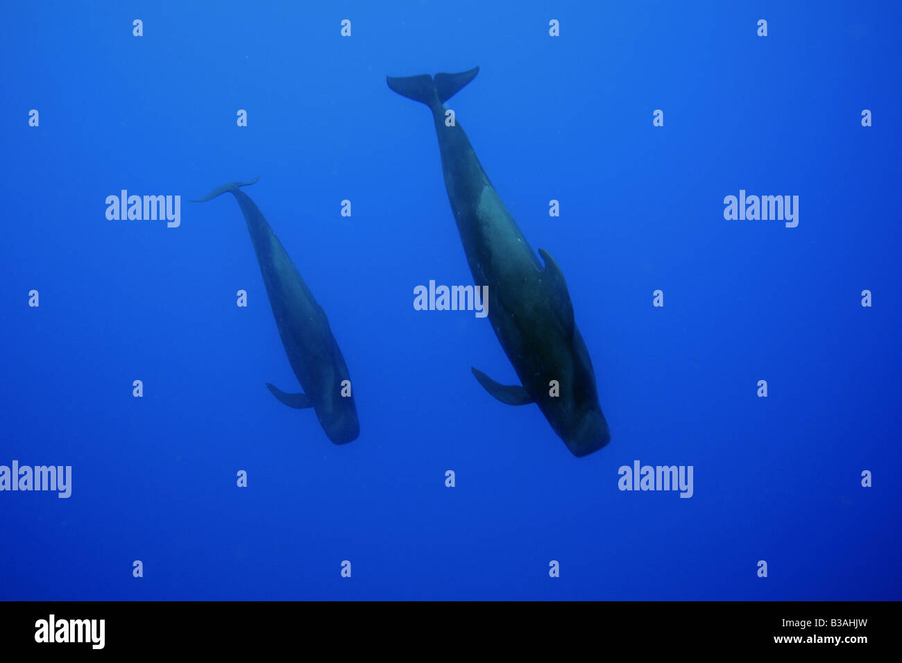 Short finned pilot whale Globicephala macrorhynchus Kailua Kona Hawaii - Stock Image