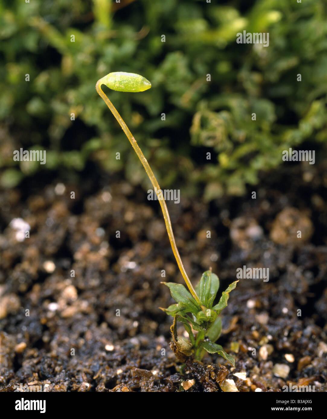 Moss Sporophyte  Mnium Sp   Cap And Seta Of Immature