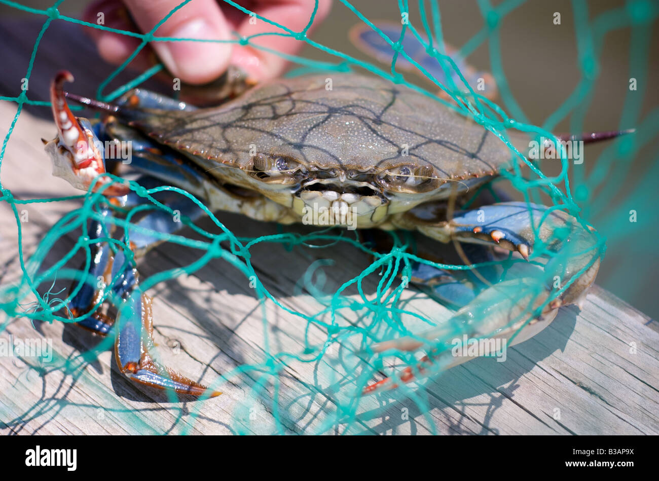 Blue Crab Caught in green net at Chesapeake Bay Maryland USA - Stock Image