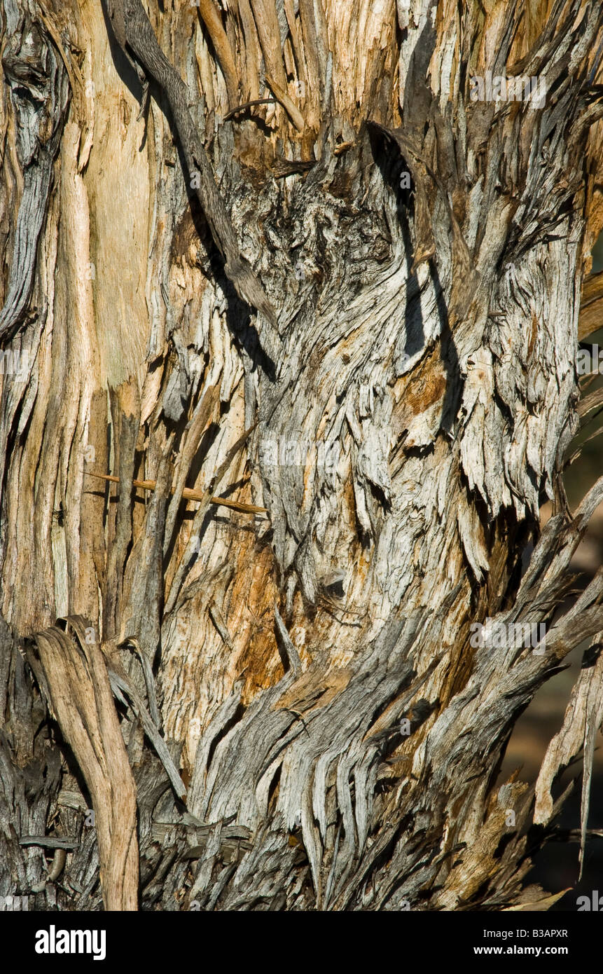 close up of old dead weather beaten tree - Stock Image