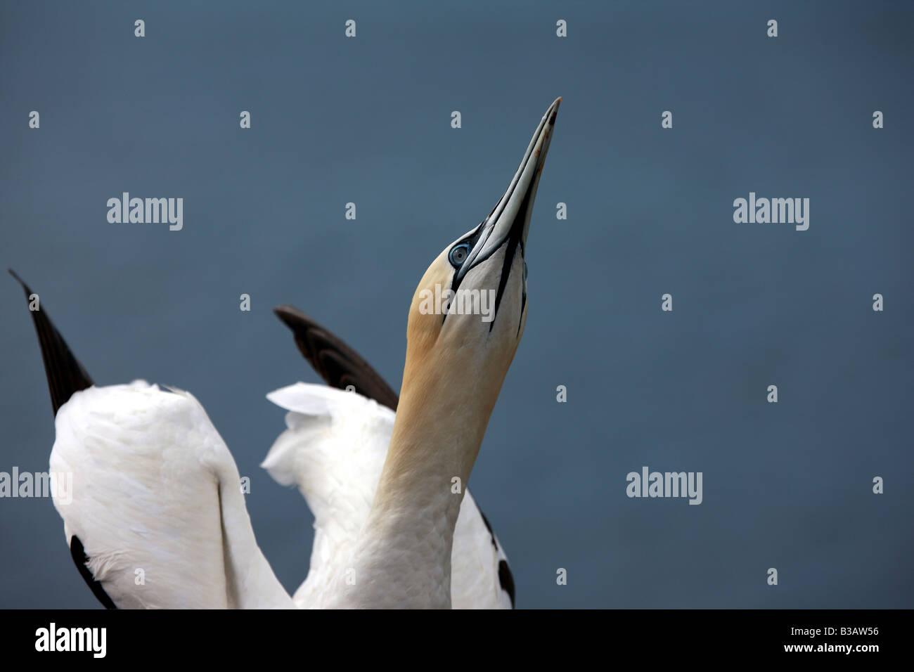 Gannet - Stock Image