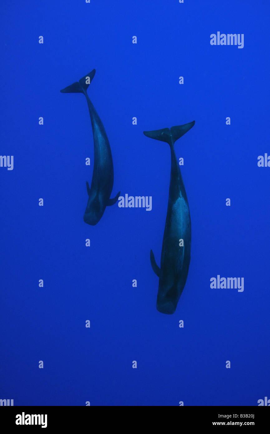 Short finned pilot whales Globicephala macrorhynchus Kailua Kona Hawaii USA Stock Photo