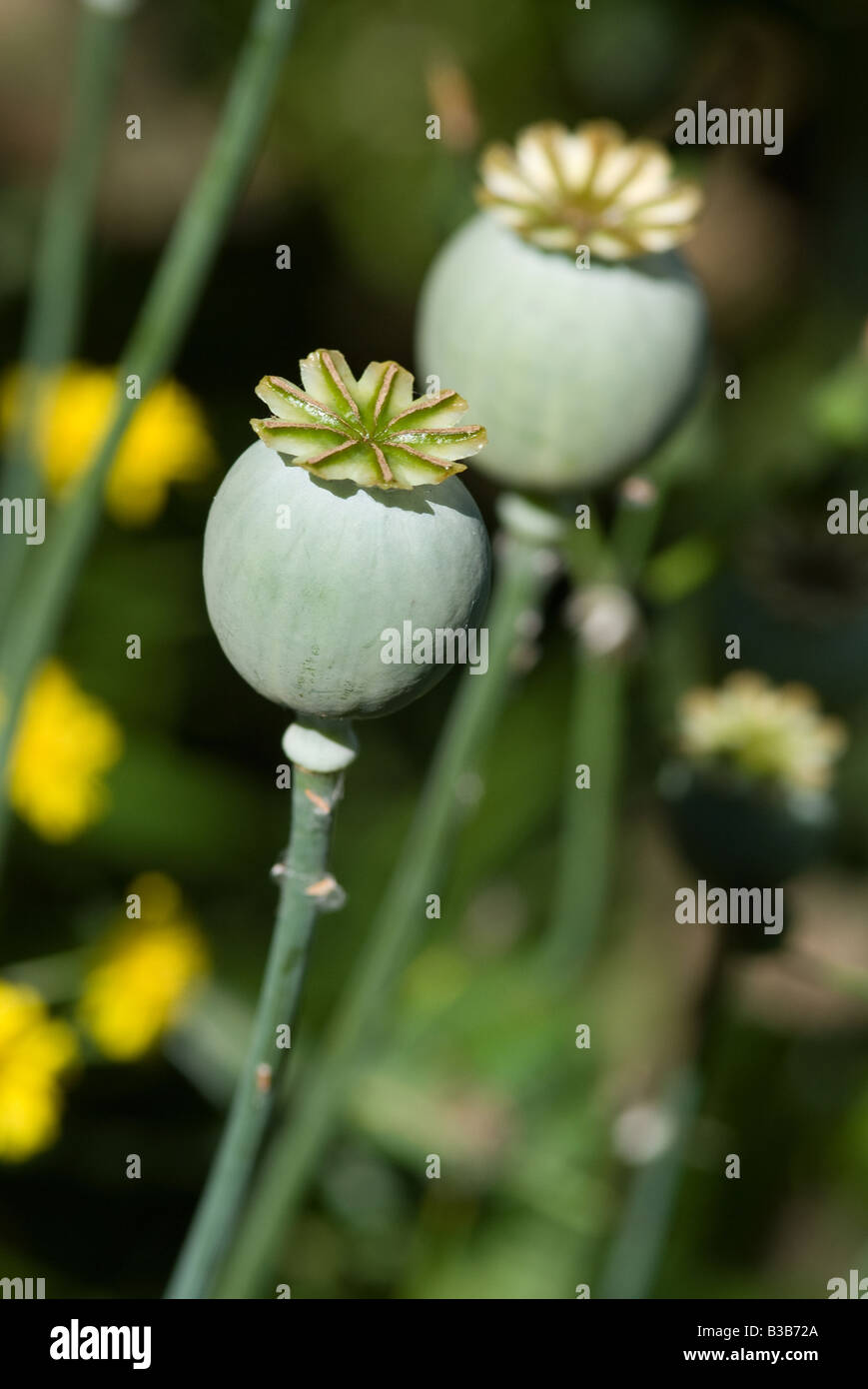 Opium Poppy Seed Heads After Flowering In A Cheshire Garden England