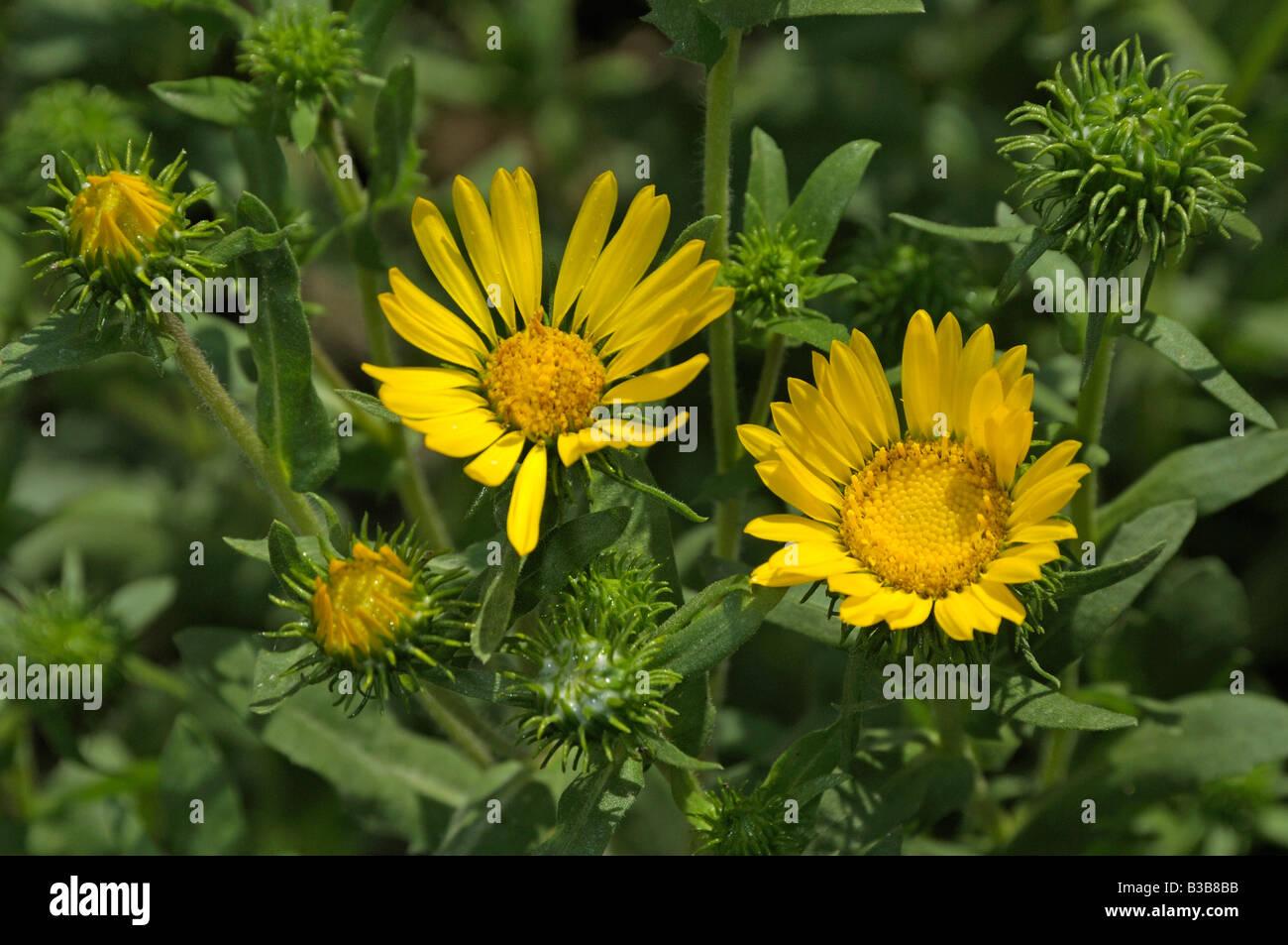 Great Valley Gumweed, Great Valley Gumplant (Grindelia camporum, Grindelia robusta) flowering Stock Photo