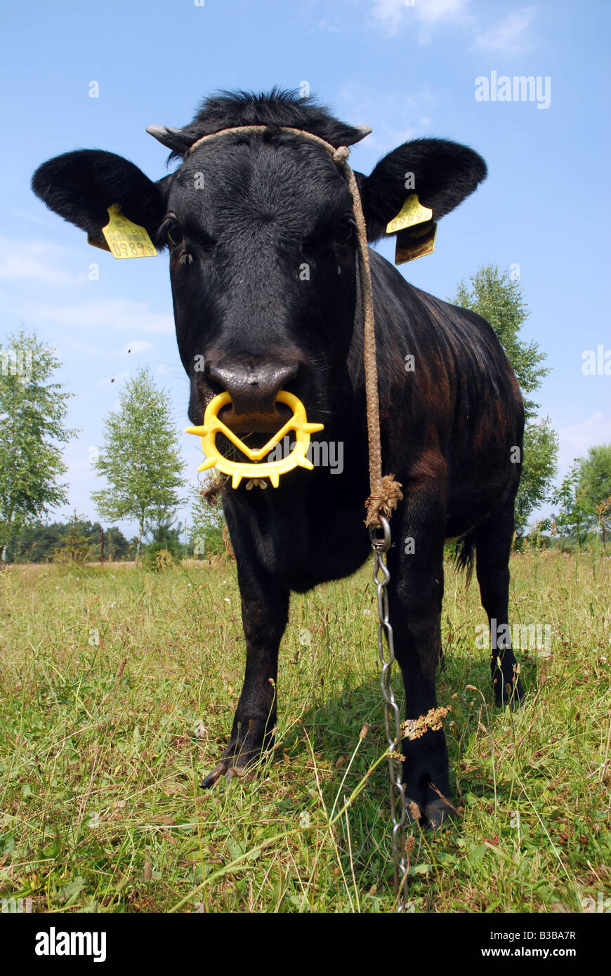 Black cow on pastureland in Poland (Masovia region) - Stock Image
