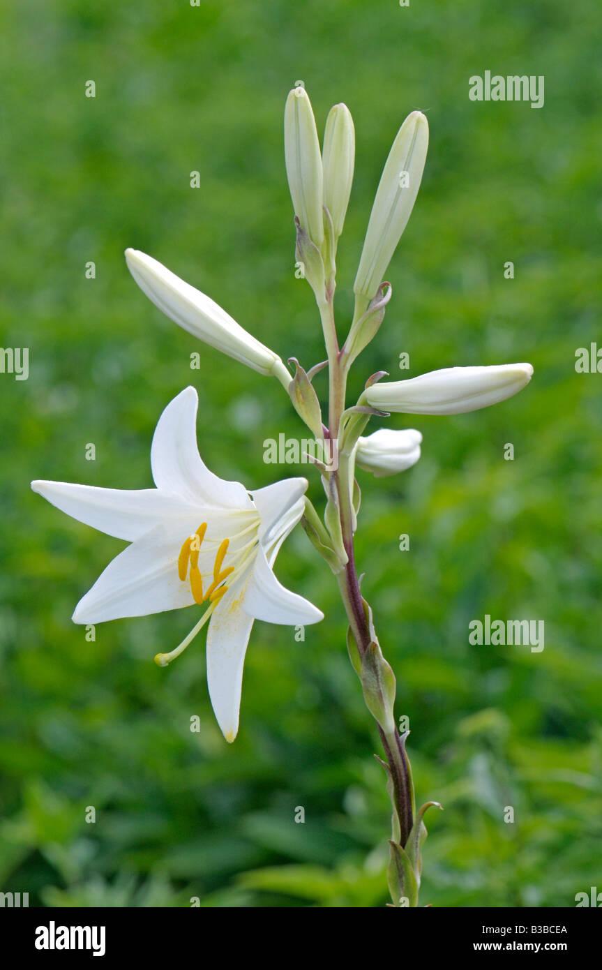 White madonna lily lilium candidum stock photos white madonna lily madonna lily white lily lilium candidum flower and buds stock image izmirmasajfo