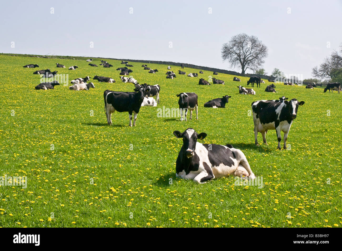 Dairy cows in a field near Spennithorne in the Yorkshire Dales Stock