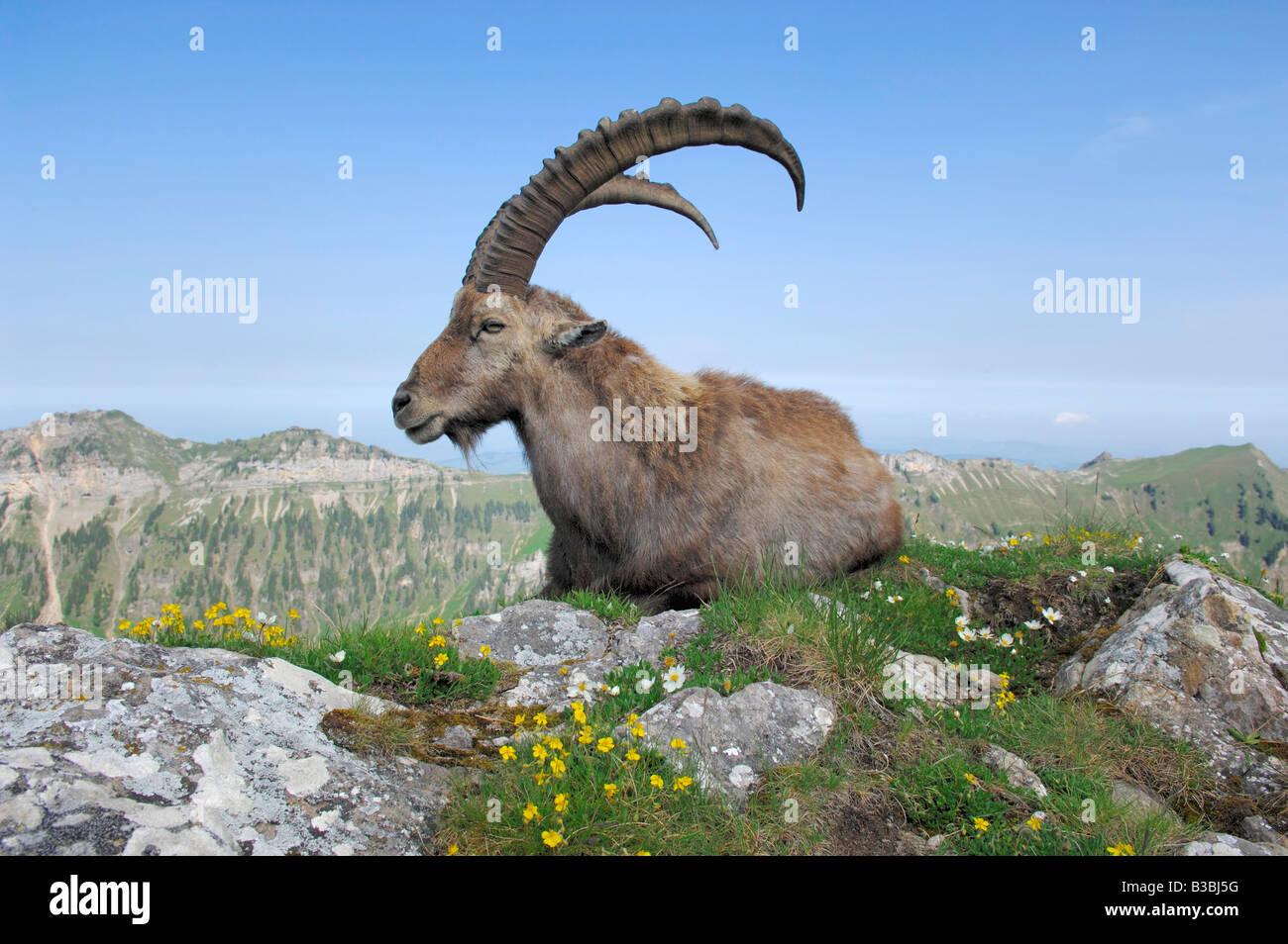 Alpine Ibex Capra ibex adult among flowers Niederhorn Interlaken Switzerland - Stock Image