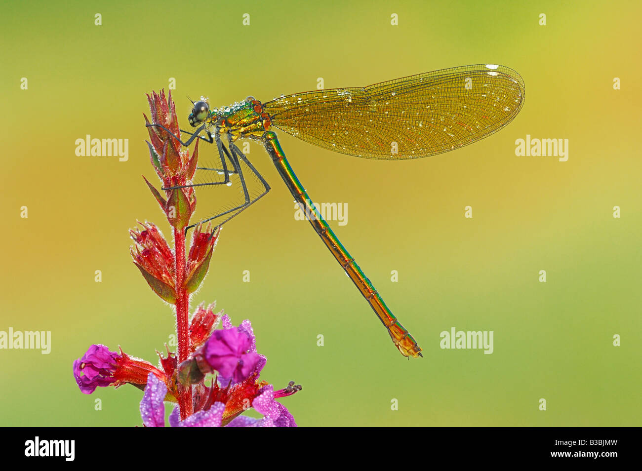 Banded Demoiselle (Calopteryx splendens), female perched on flower dew covered, Zug, Switzerland Stock Photo
