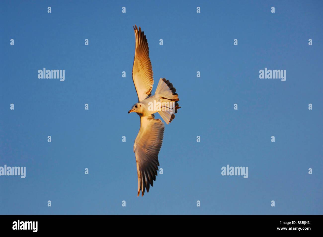 Black-headed Gull Larus ridibundus young in flight Zug Switzerland - Stock Image