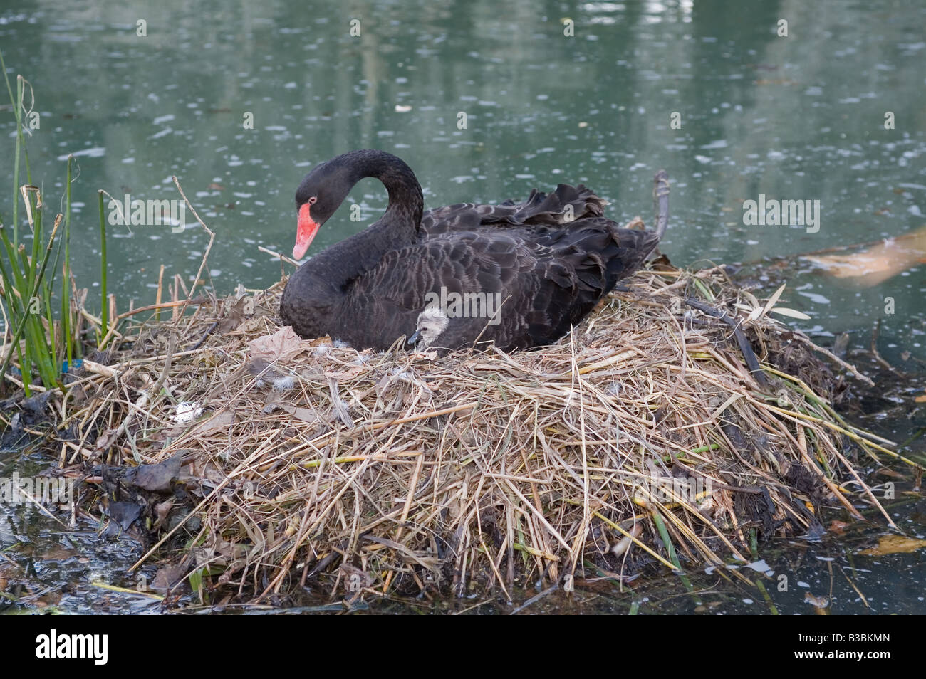 A Western Australian black swan on its nest in Perth with cygnet visible - Stock Image