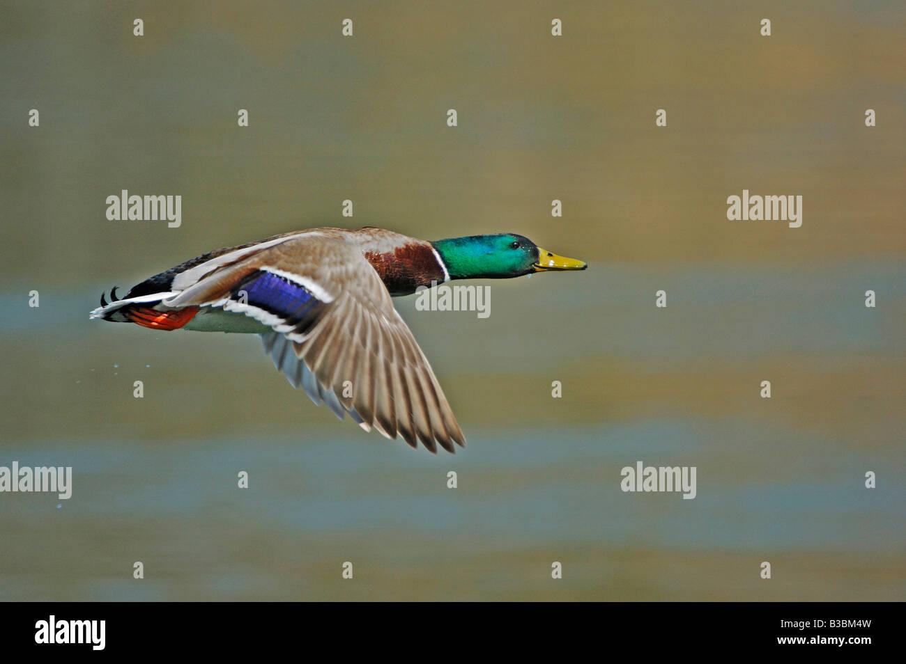 Mallard (Anas platyrhynchos), male in flight, Switzerland - Stock Image