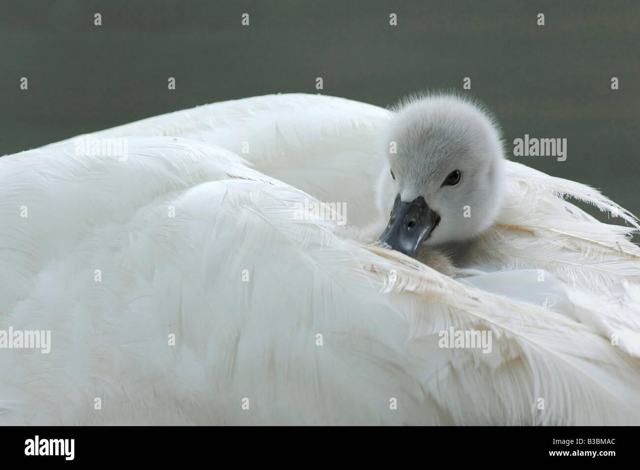 Mute Swan Cygnus olor young on mothers back Lake of Zug Switzerland - Stock Image