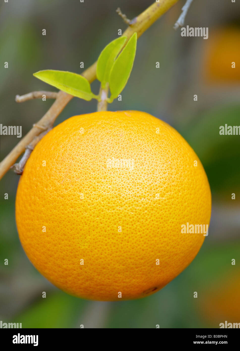 great image of juicy orange on a tree or bush - Stock Image