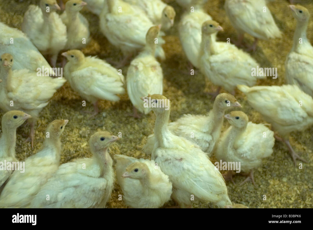 Young freerange white turkey poults/chicks in a barn, in preparation for Christmas. - Stock Image