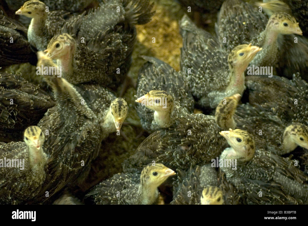 Freerange bronze turkey chicks destined for the Christmas table in a barn in Northamptonshire - Stock Image