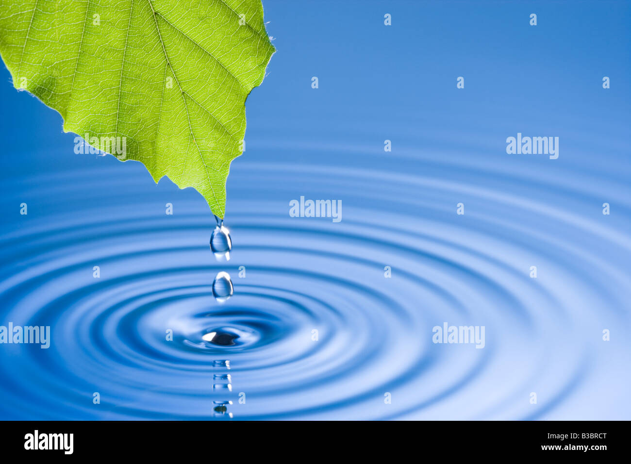 Water droplets falling from leaf causing ripples. Beech tree leaf. - Stock Image