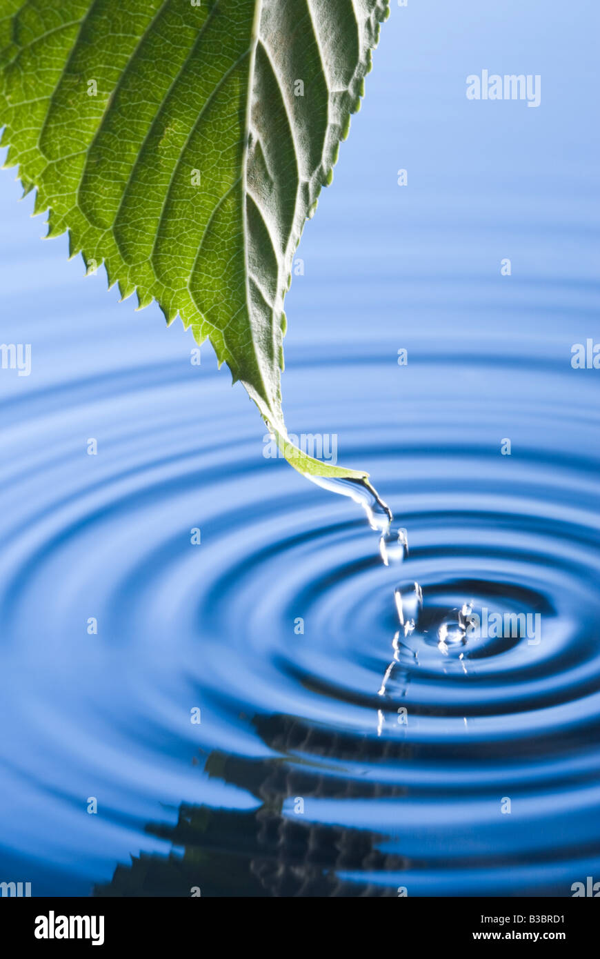 Water droplets falling from leaf causing ripples. Flowering cherry tree leaf. - Stock Image