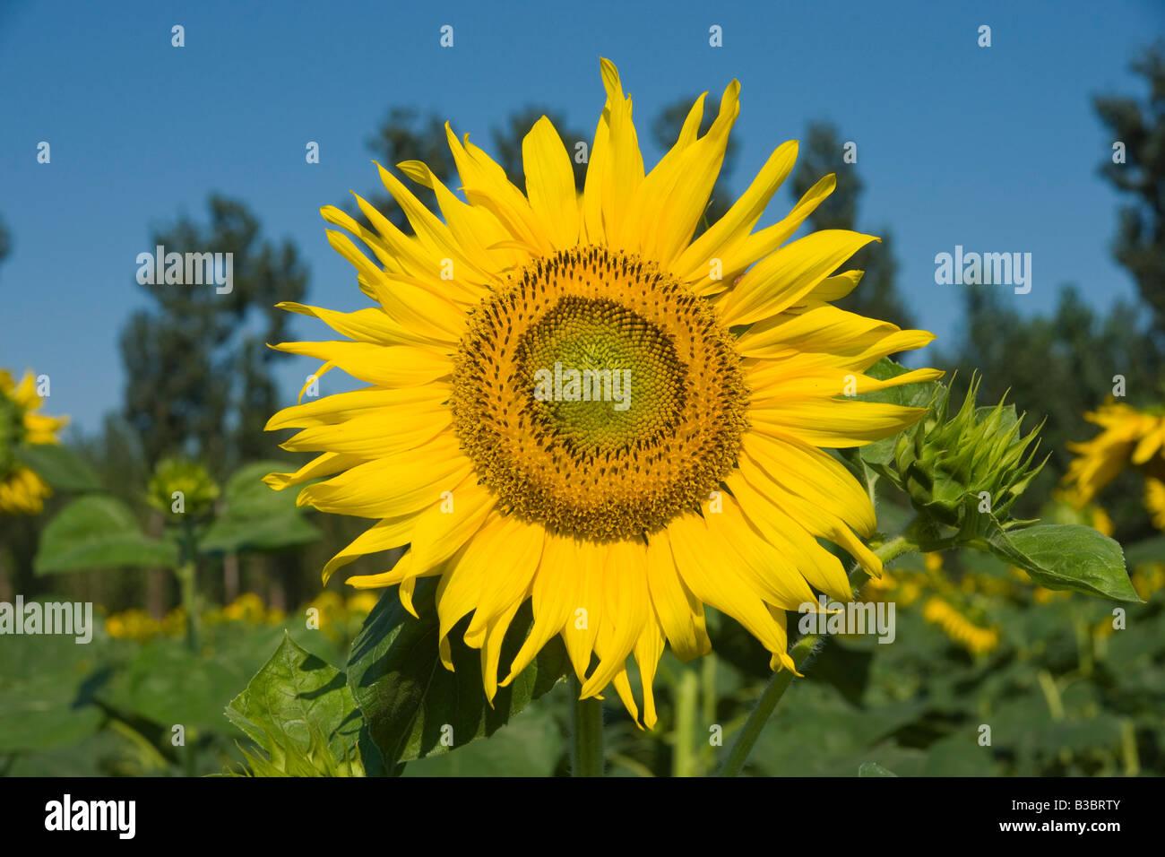 Closeup round bright beautiful yellow fresh sunflowers - Stock Image