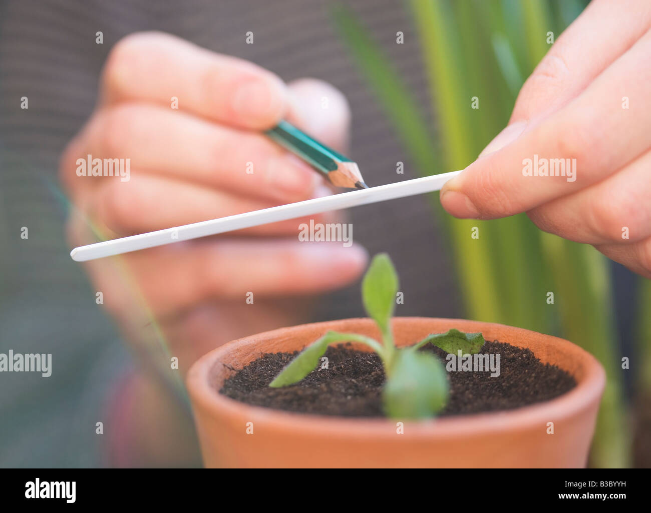 A plant being labeled - Stock Image
