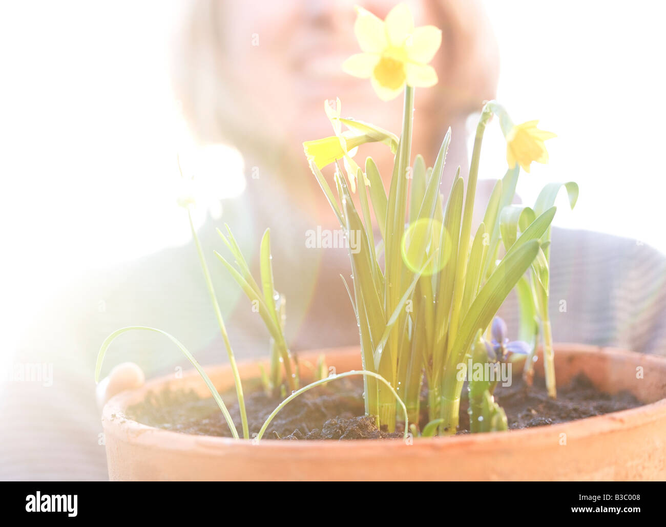 A woman admiring her daffodils - Stock Image