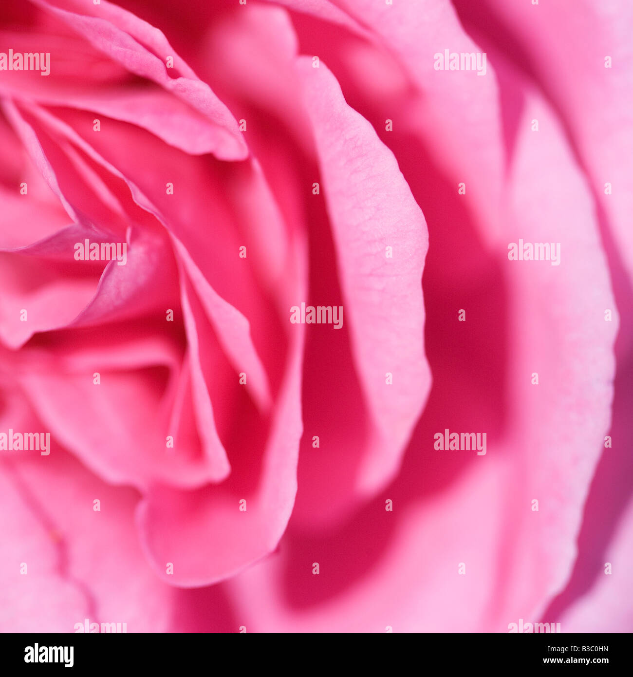 Pink rose petals close up - Stock Image