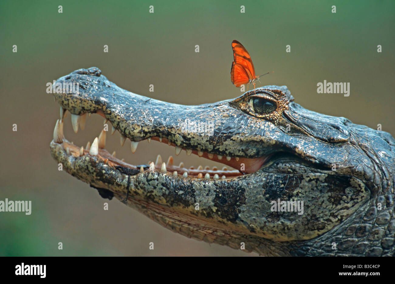 Spectacled Caiman Caiman crocodilus adult with Julia Butterfly Dryas iulia Pantanal Brazil South America - Stock Image