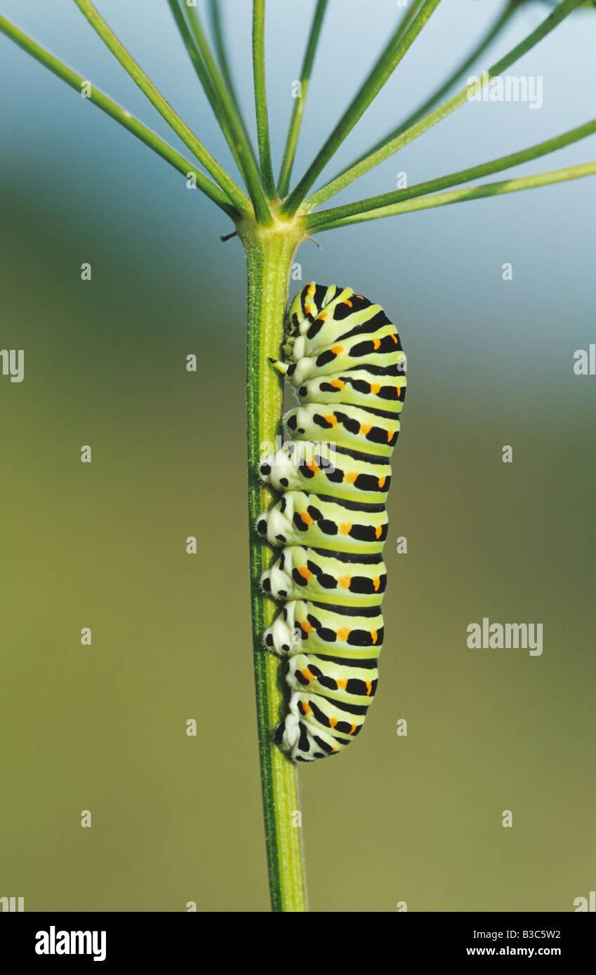 Old World Swallowtail Papilio machaon caterpillar on fodder plant Switzerland - Stock Image