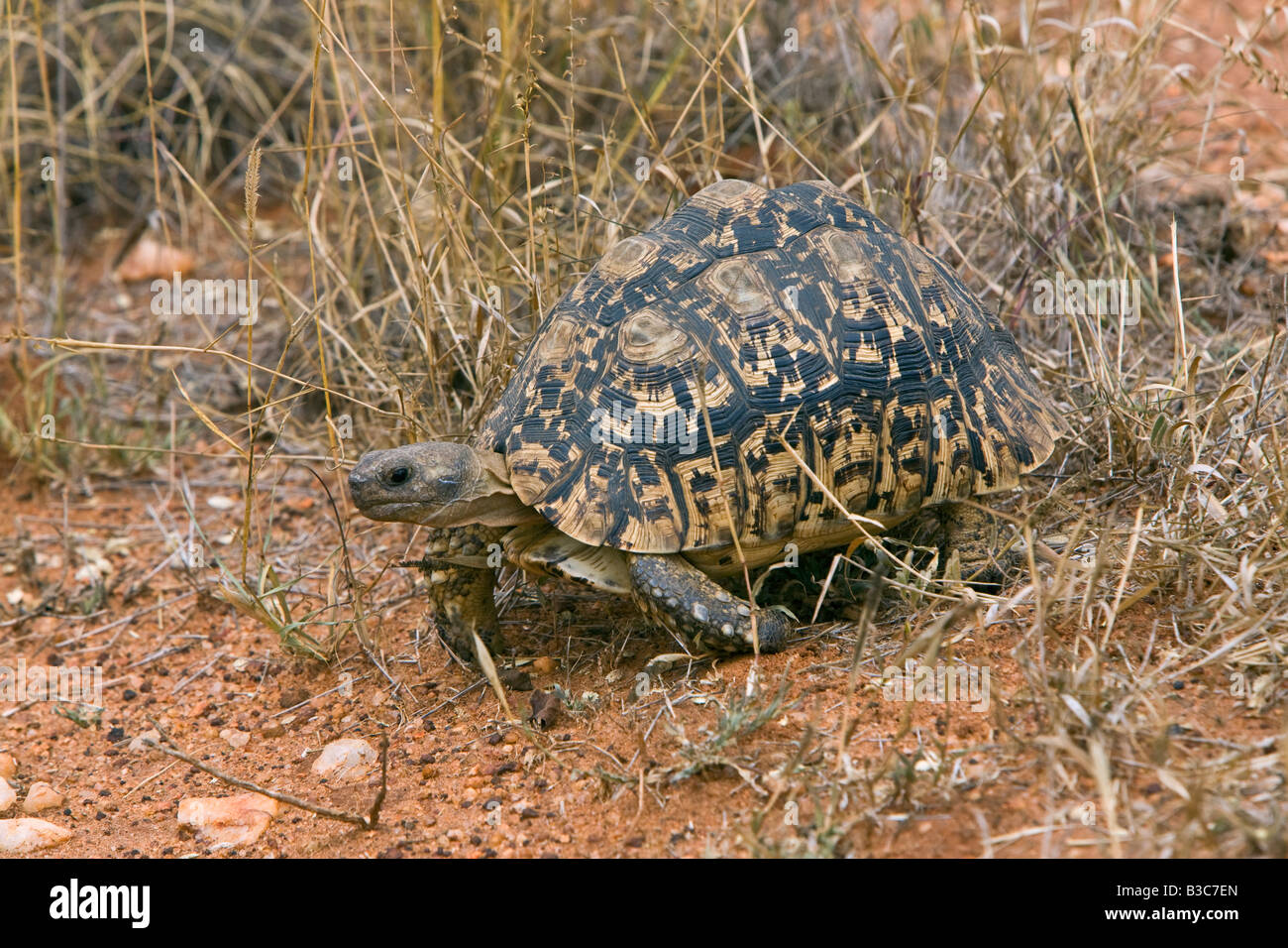 Kenya, Tsavo West National Park. A leopard tortoise (Geochelone pardalis) in Tsavo West National Park. - Stock Image