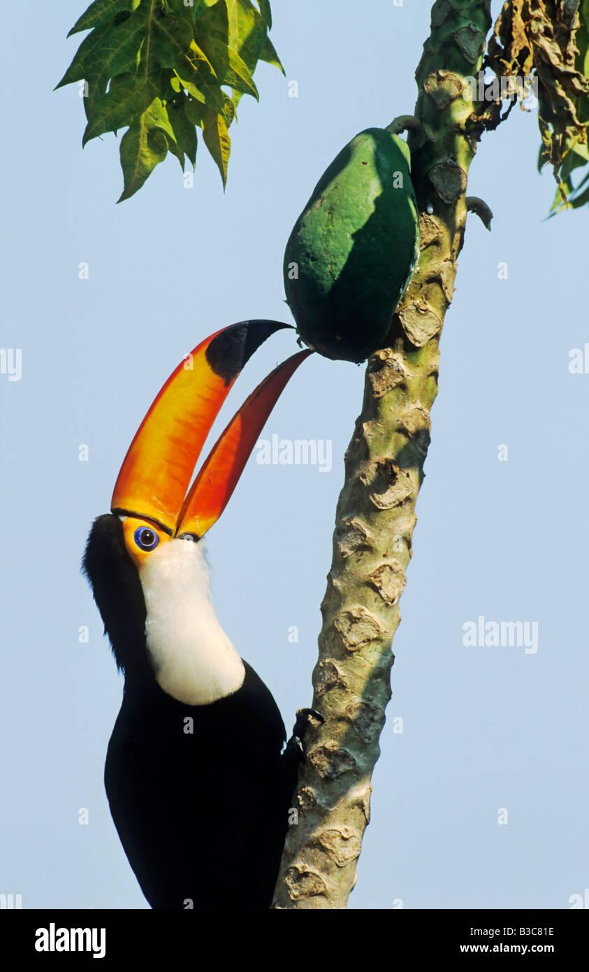 toco toucan ramphastos toco adult eating mango fruit