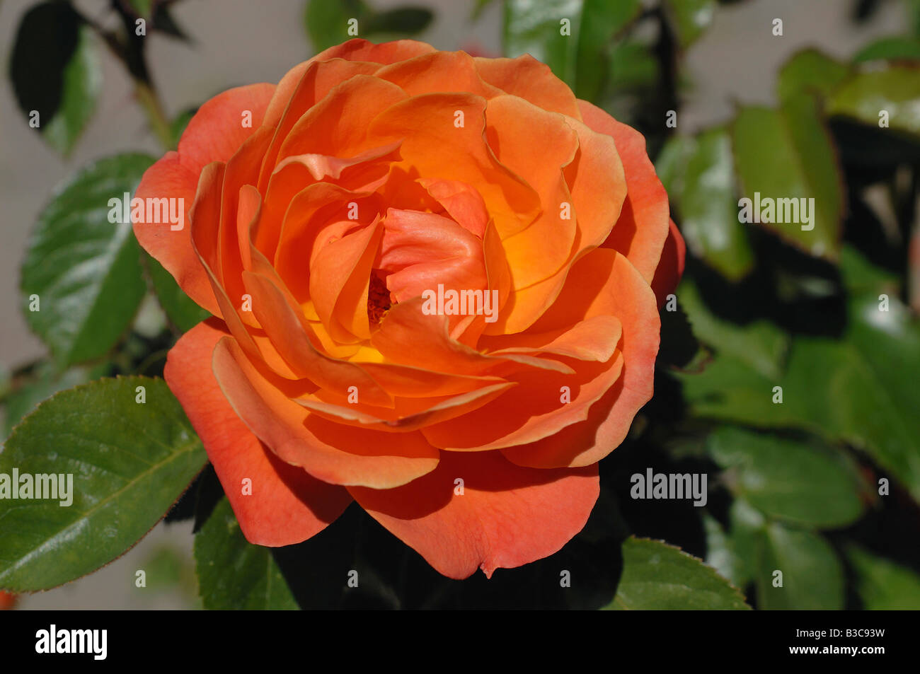 Orange coloured rose at Julia Davis Park, The Rose Garden, Boise, Idaho - Stock Image