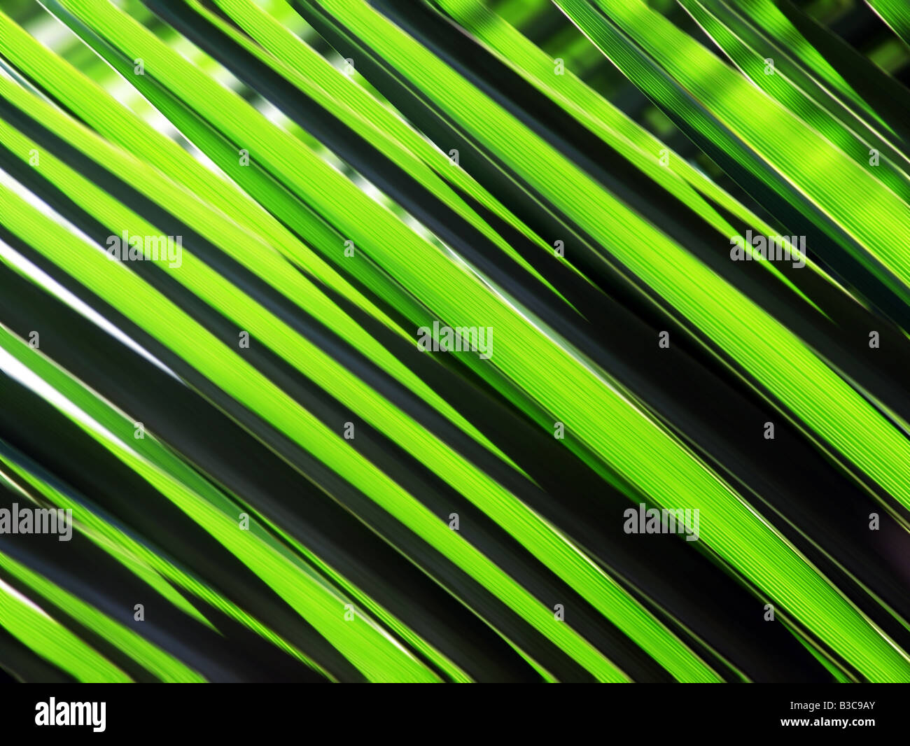 Green palm leaves - Stock Image