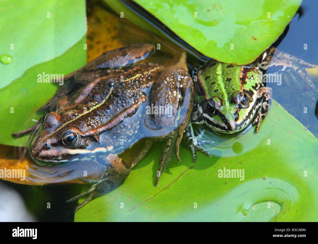 Green edible frogs Rana esculenta - Stock Image