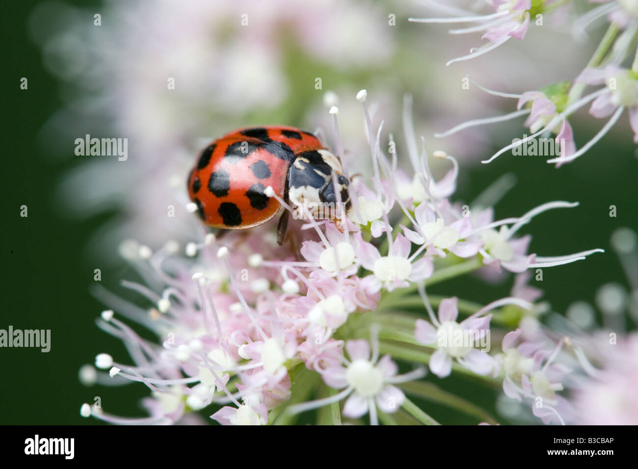 Harlequin Ladybird Harmonia axyridis adult on a Wild Angelica Andelica sylvestris flower head - Stock Image