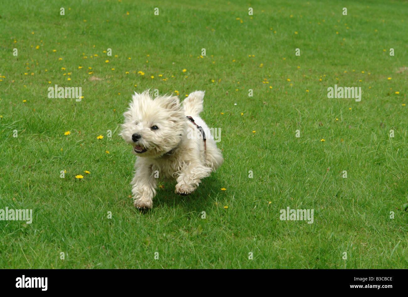 Scottish Terrier Running Stock Photos & Scottish Terrier Running
