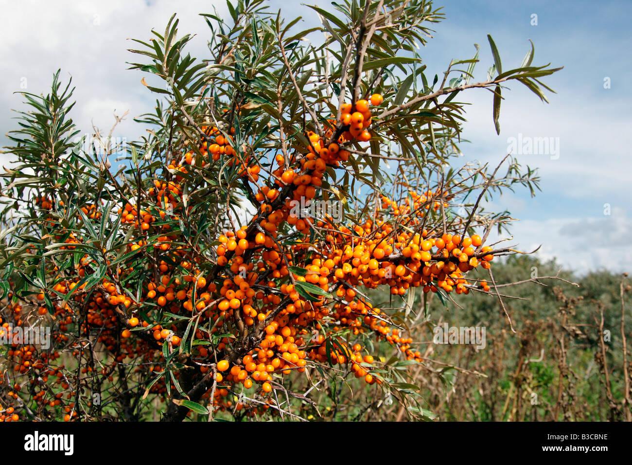 Tsetsalulu Seabuckthorn Bush Shrub Orange Berries Branch Growing