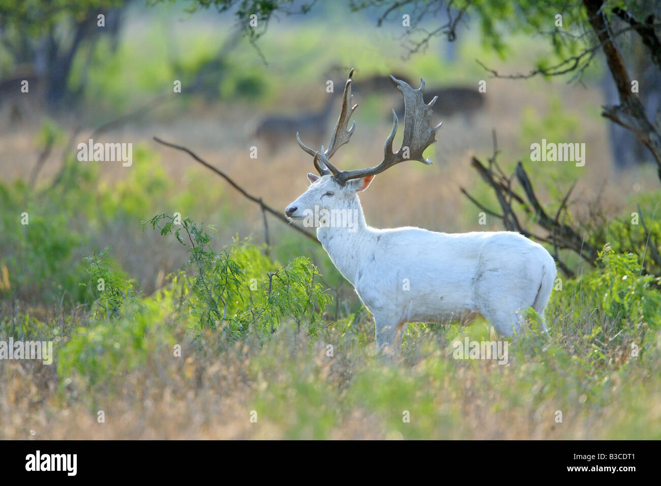 Fallow Deer Dama dama McAllen Texas United States 24 March Adult Male white form Cervidae - Stock Image