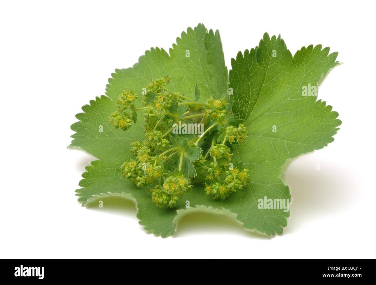 medicinal plant Alchemilla Lady s mantle Alchemilla vulgaris - Stock Image