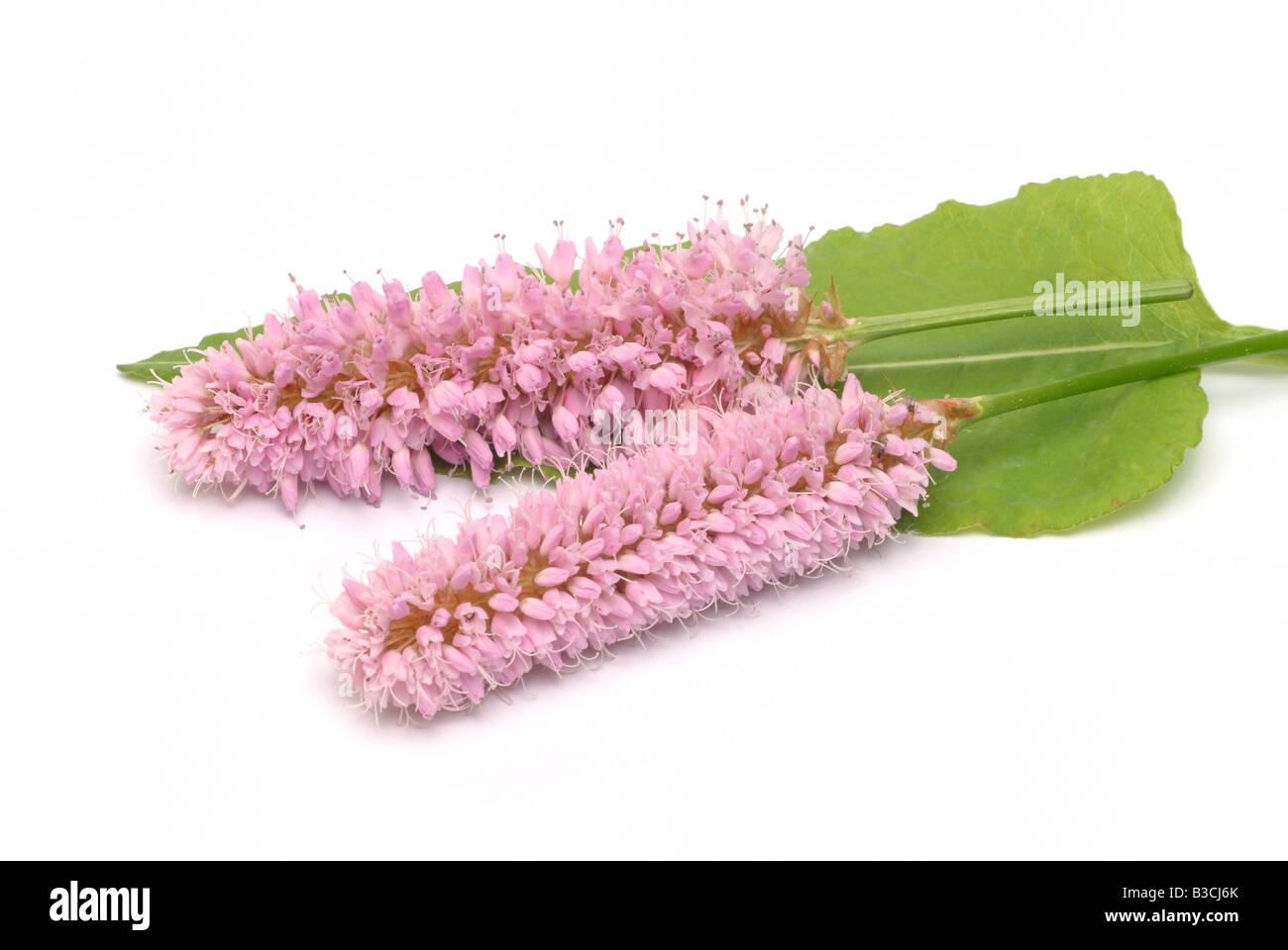 medicinal plant Bistrot bistort snake root Polygonum bistorta Bostoria - Stock Image