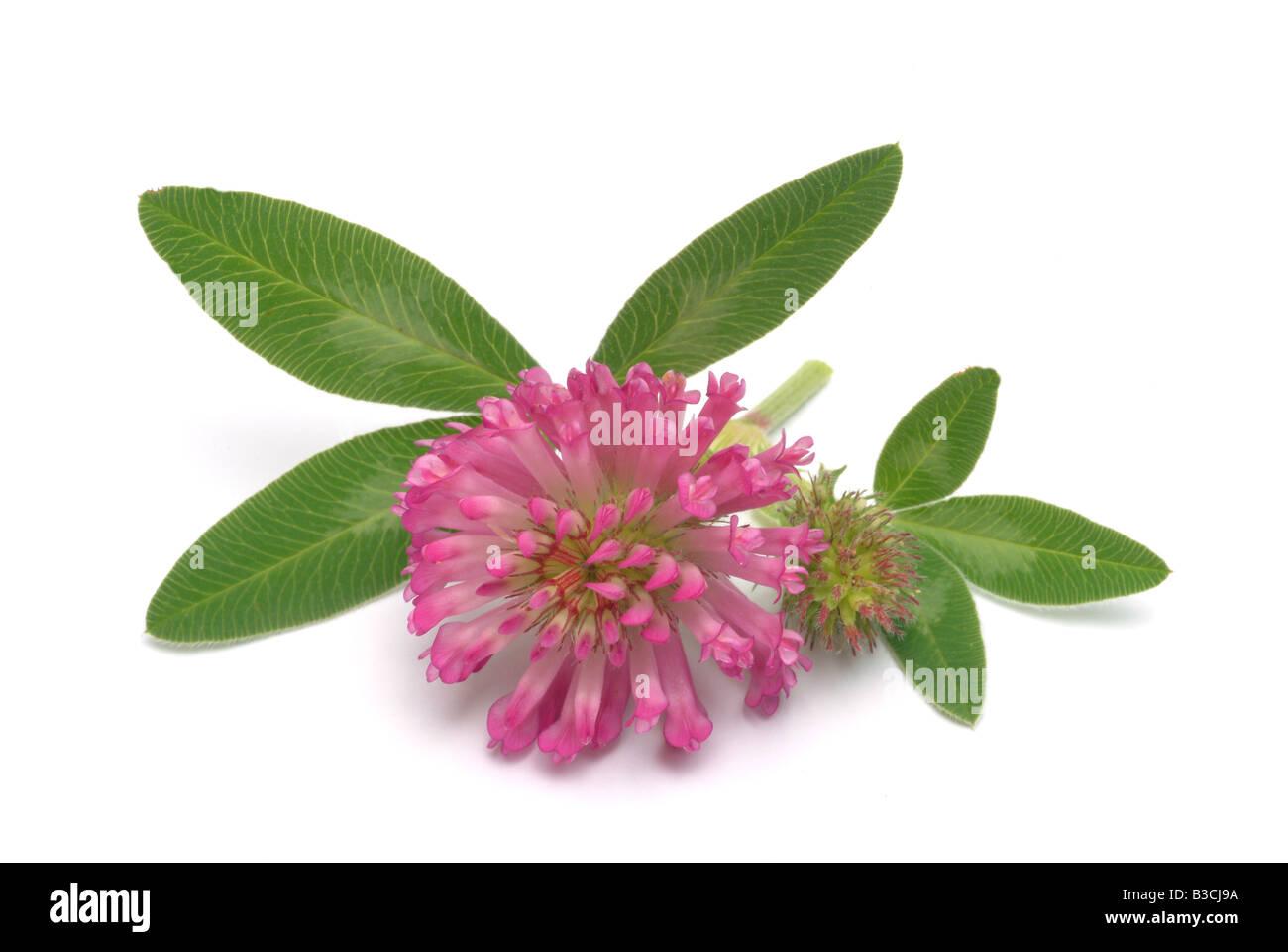 Medicinal Plant Clover Pink Clover Purple Clover Red Clover Sweet