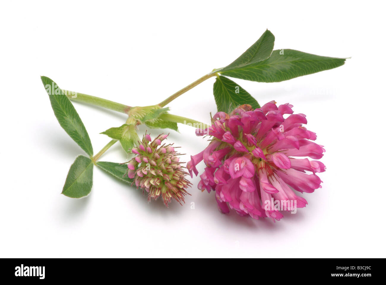 medicinal plant Clover Pink Clover Purple Clover Red Clover Sweet Clover Trifolium pratense - Stock Image