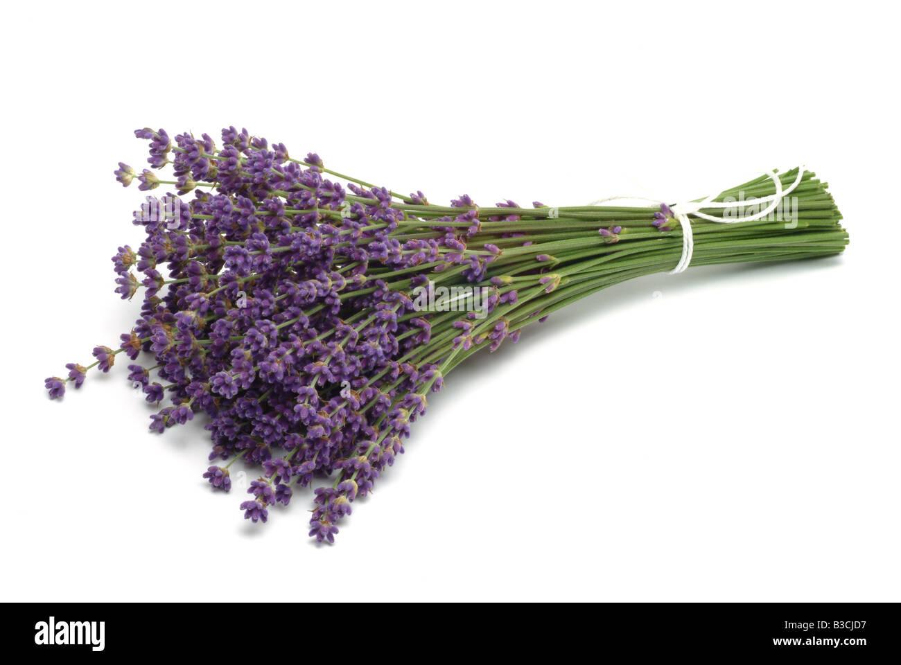 Medicinal plant Lavender Lavandula angustifolia Lavandula officinalis Lavender vulgaris - Stock Image