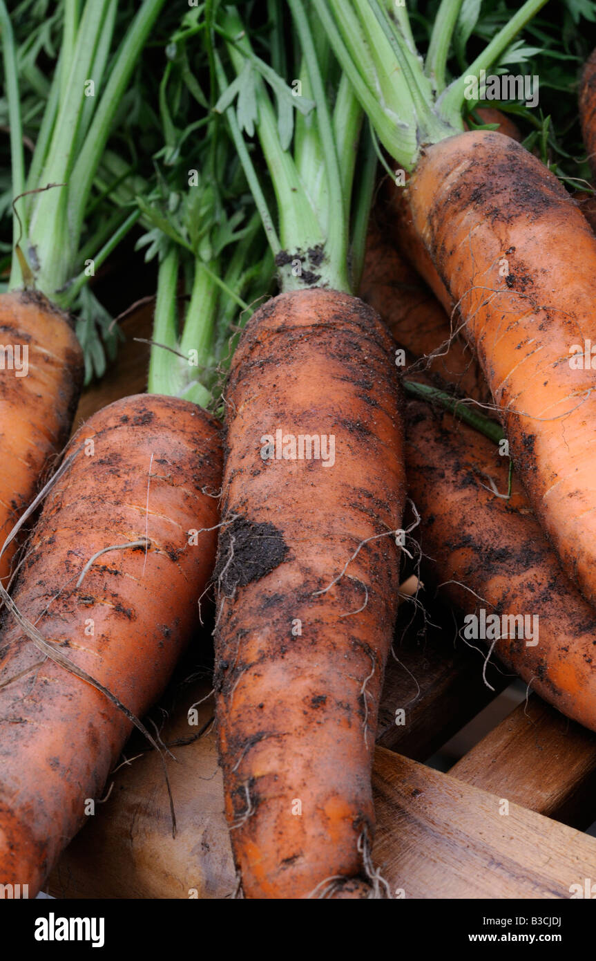 Carrots harvested from the vegetable plot - Stock Image