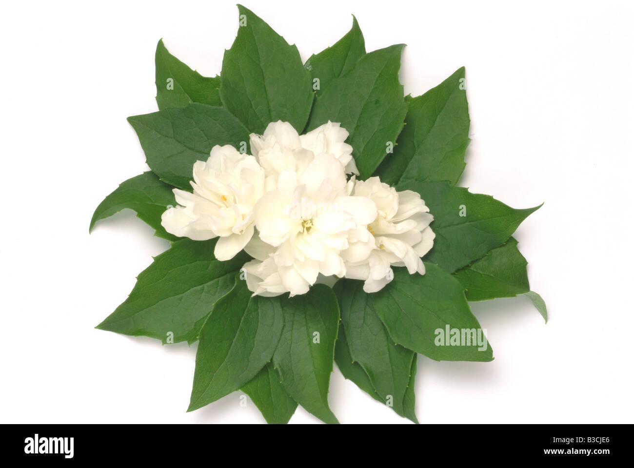 Blossoms of the medicinal plant Jasmine Jesamine Gelsemium sempervirens Jasminum officinale - Stock Image