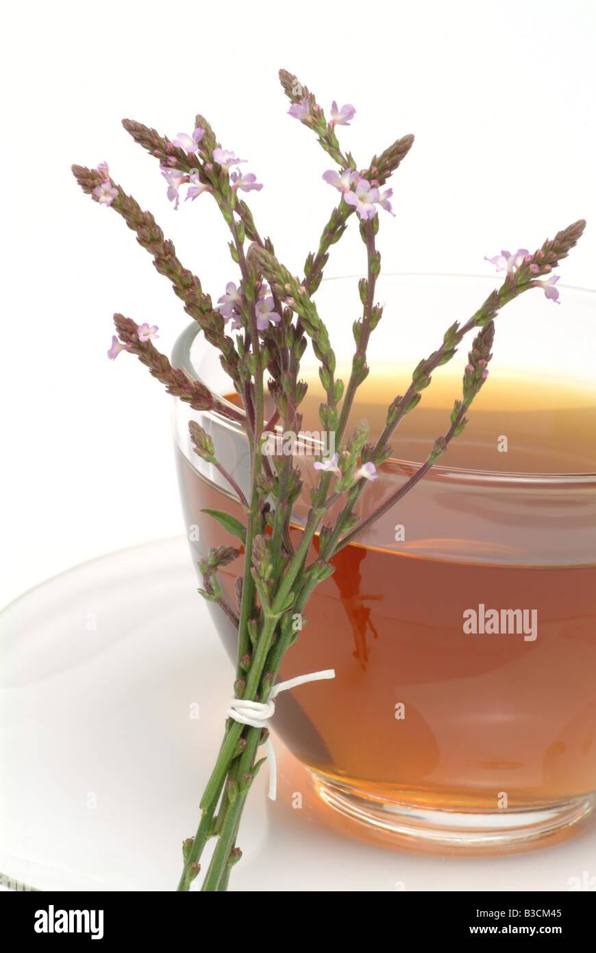 medicinal tea made of Vervain holy herb Verbena officinalis Verbena