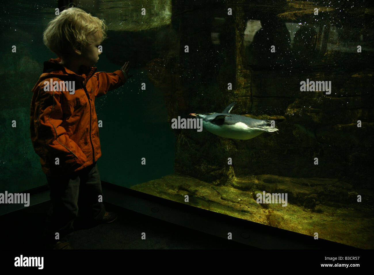 Young boy examining Rockhopper Penguins (Eudyptes chrysocome) at Schonbrunn Zoo in Vienna, Austria Stock Photo