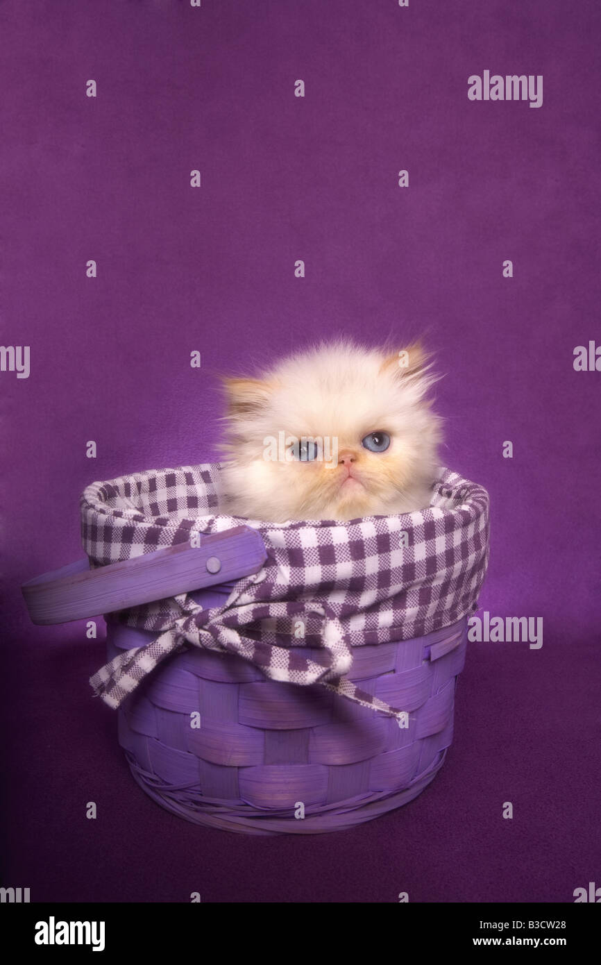 Cute Flame point Himalayan kittens in a basket on purple background - Stock Image