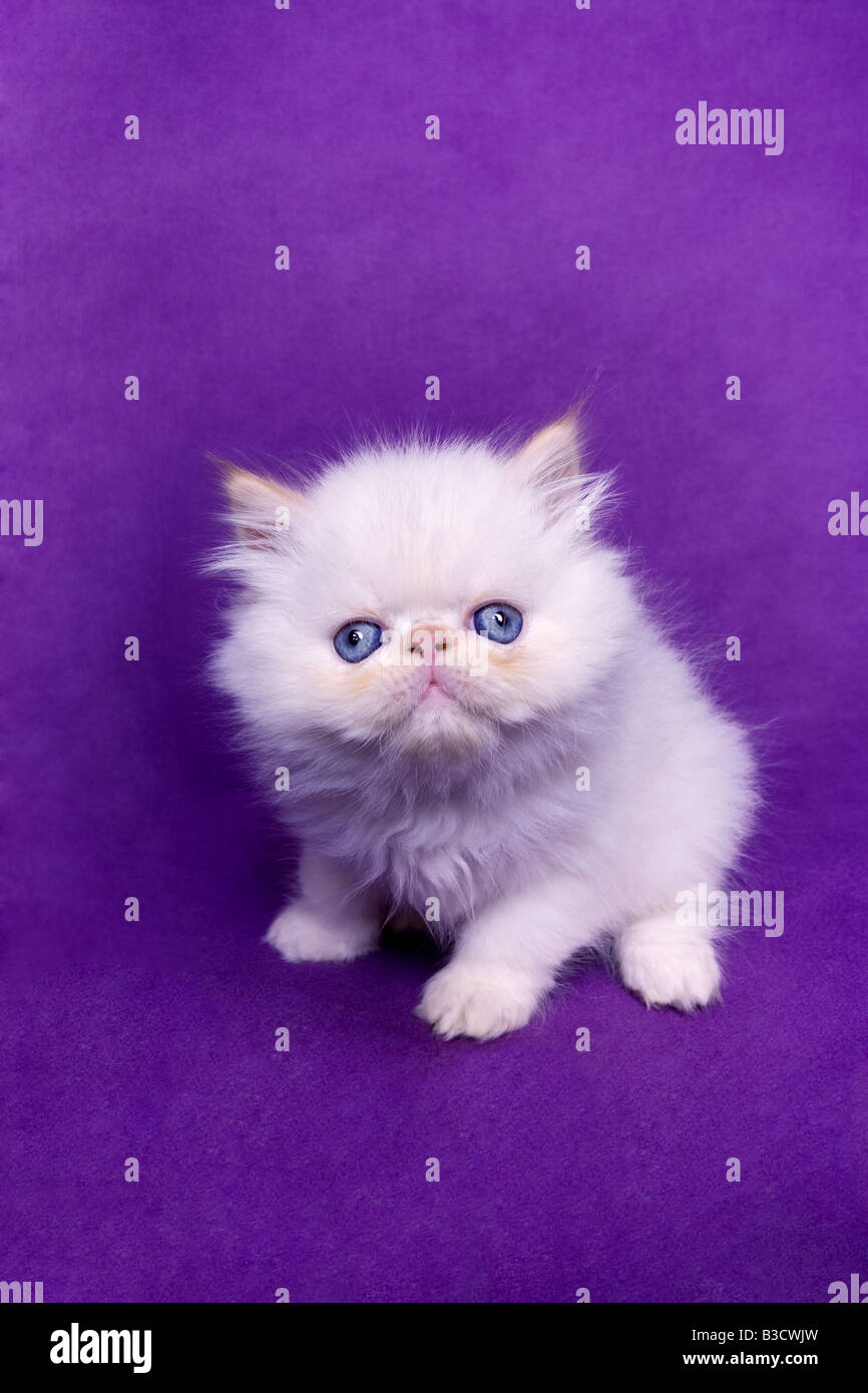 Adorable blue eyed flame point Himalayan kitten on purple violet background - Stock Image