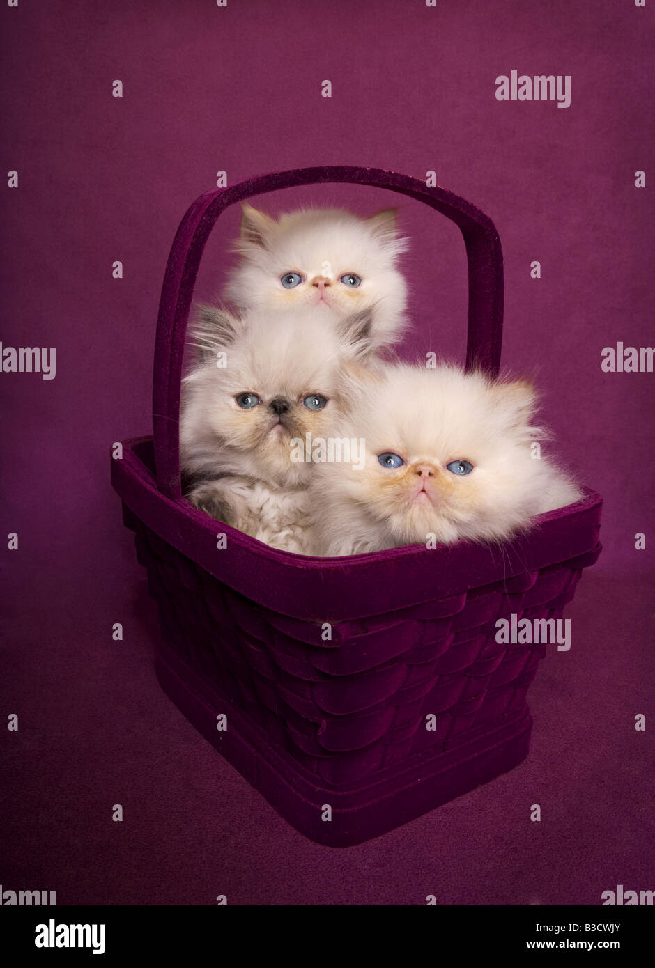 Three cute Himalayan kittens in maroon basket on maroon background - Stock Image